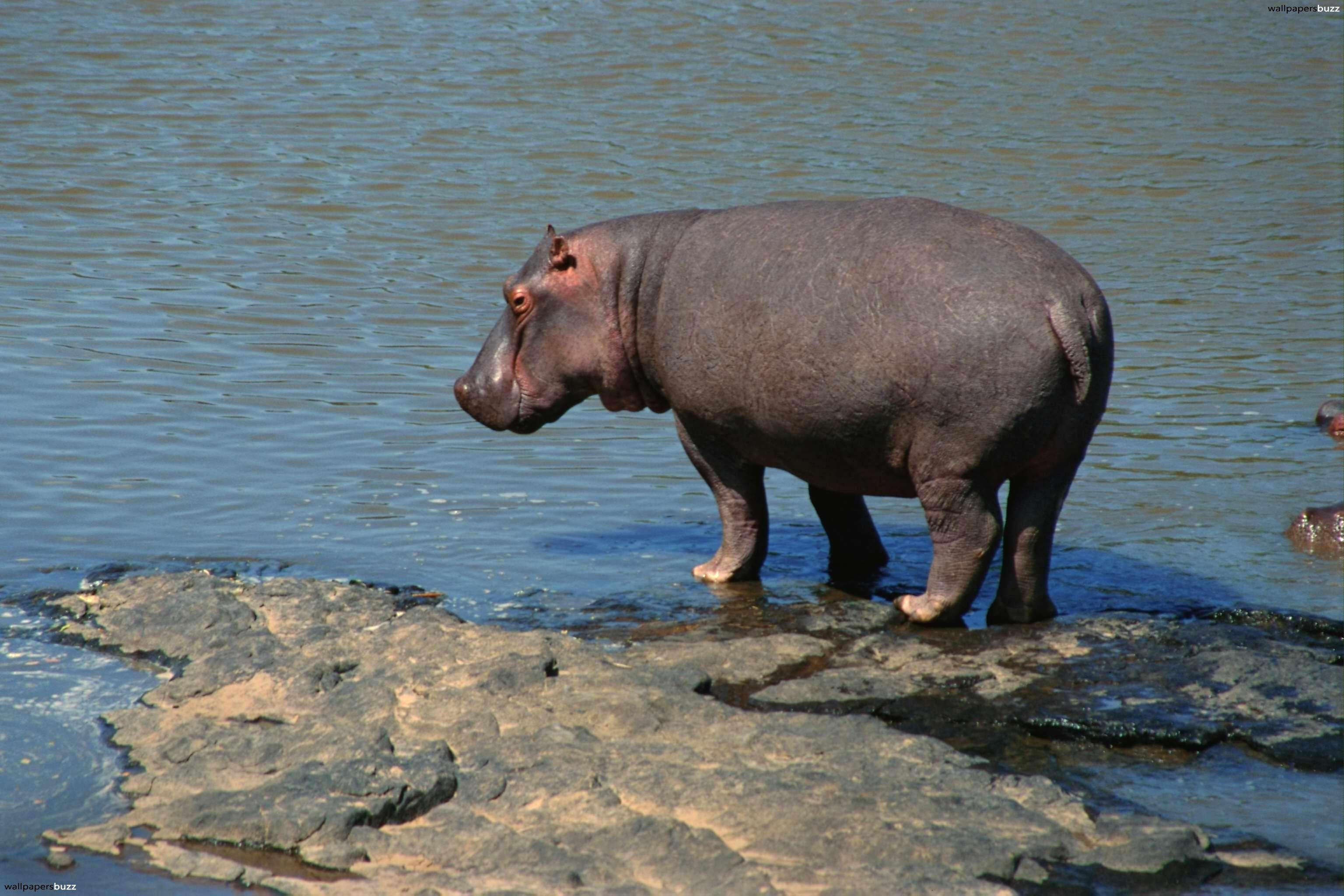 Hippopotamus HD Wallpaper