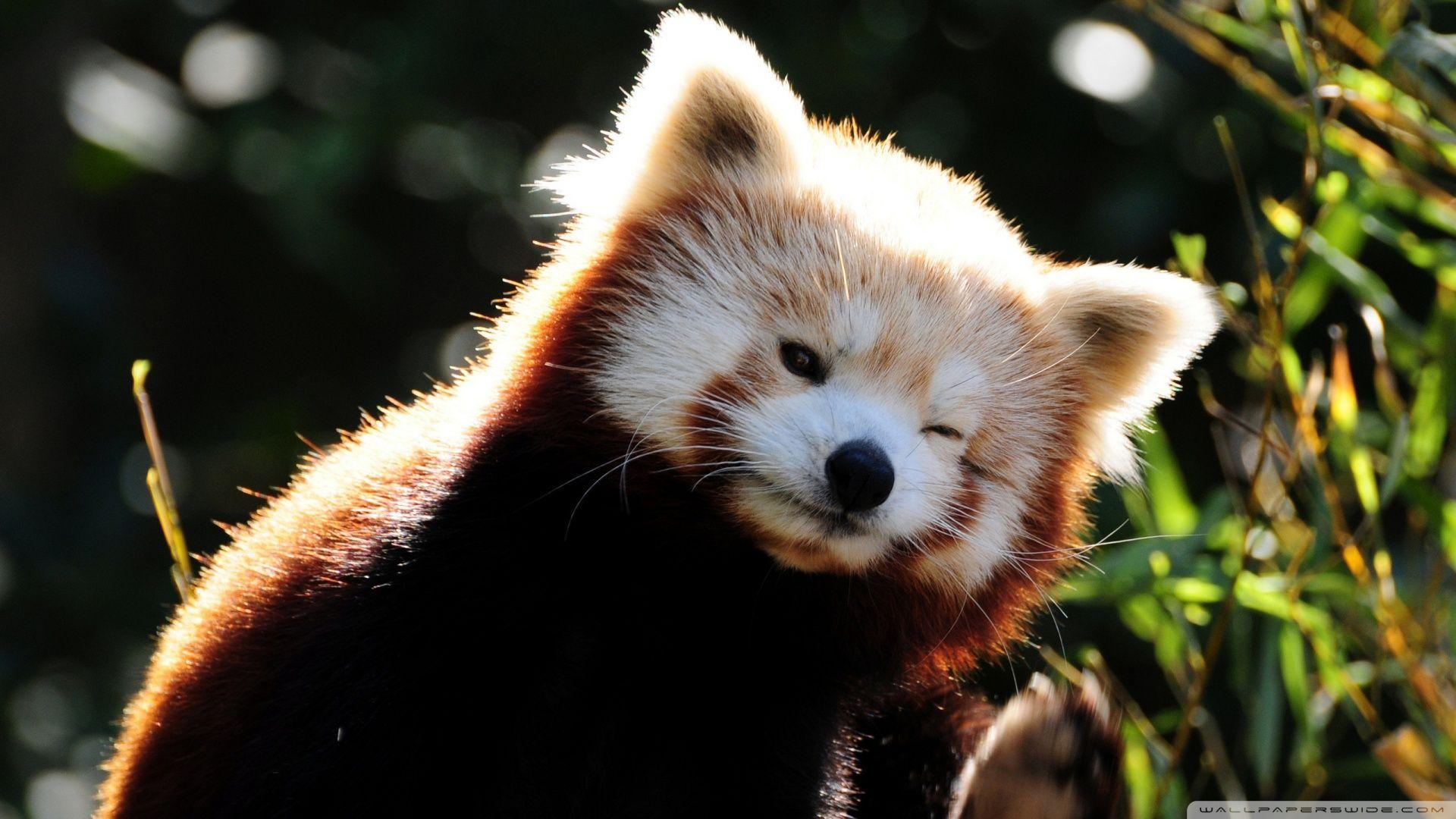 Red Panda Backgrounds Wallpaper