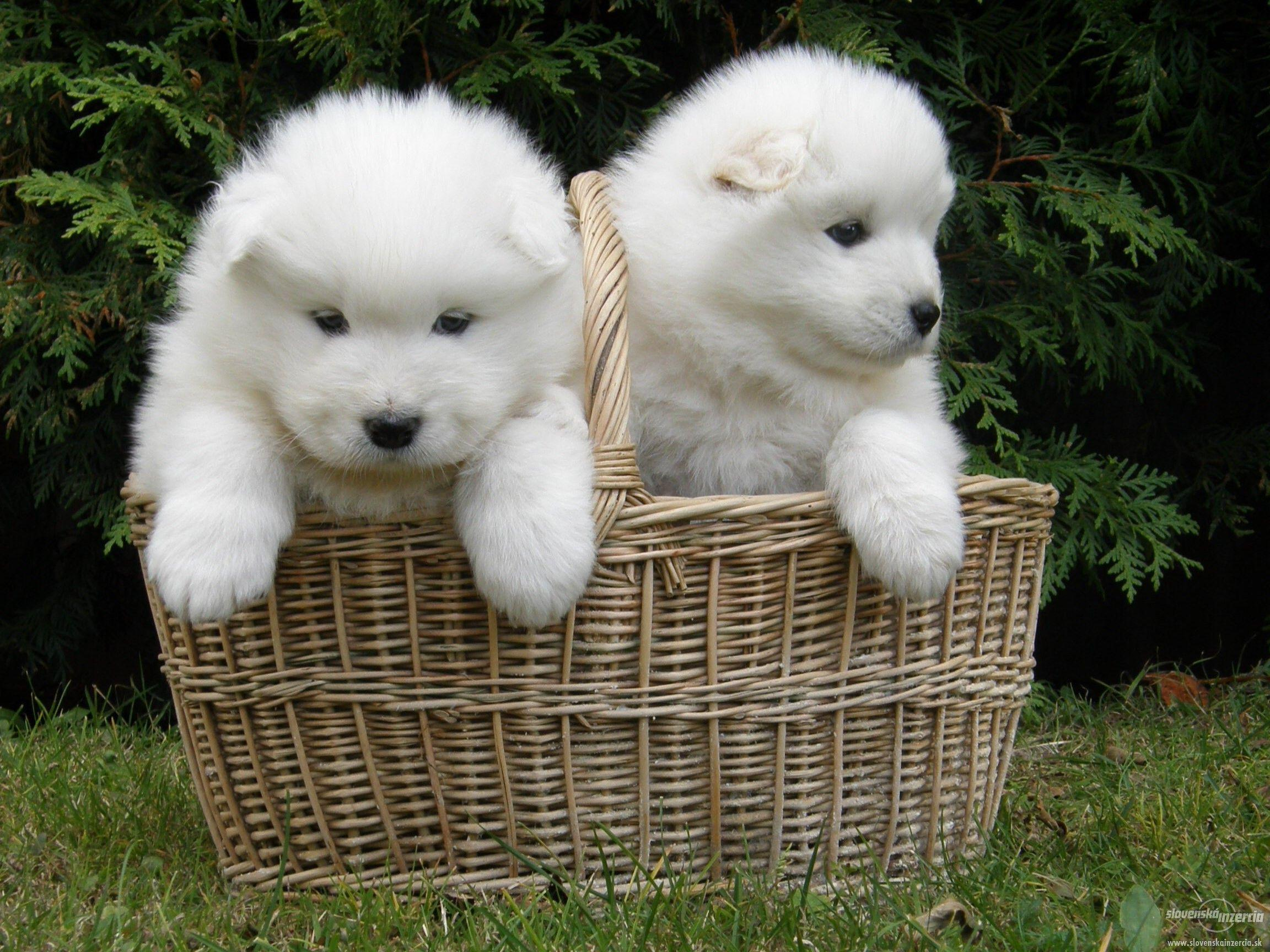 Samoyed Wallpapers - Wallpaper Cave