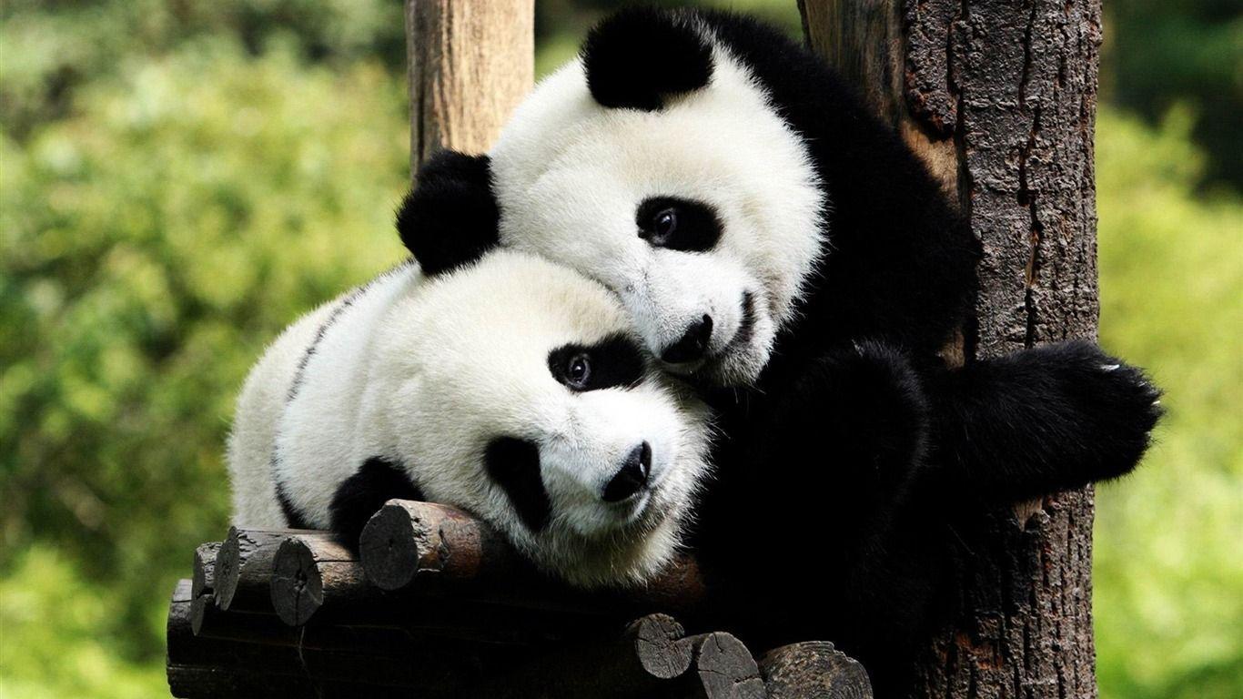 Playful Pandas Wild Animal HD Wallpapers