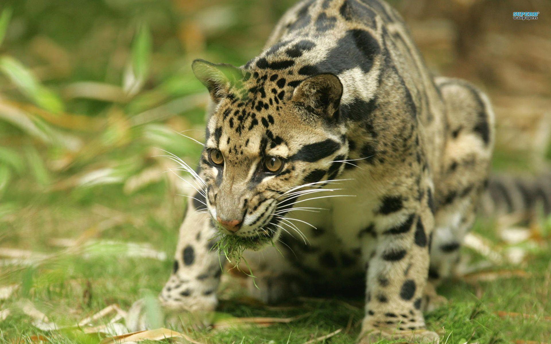 clouded leopard wallpaper - photo #2