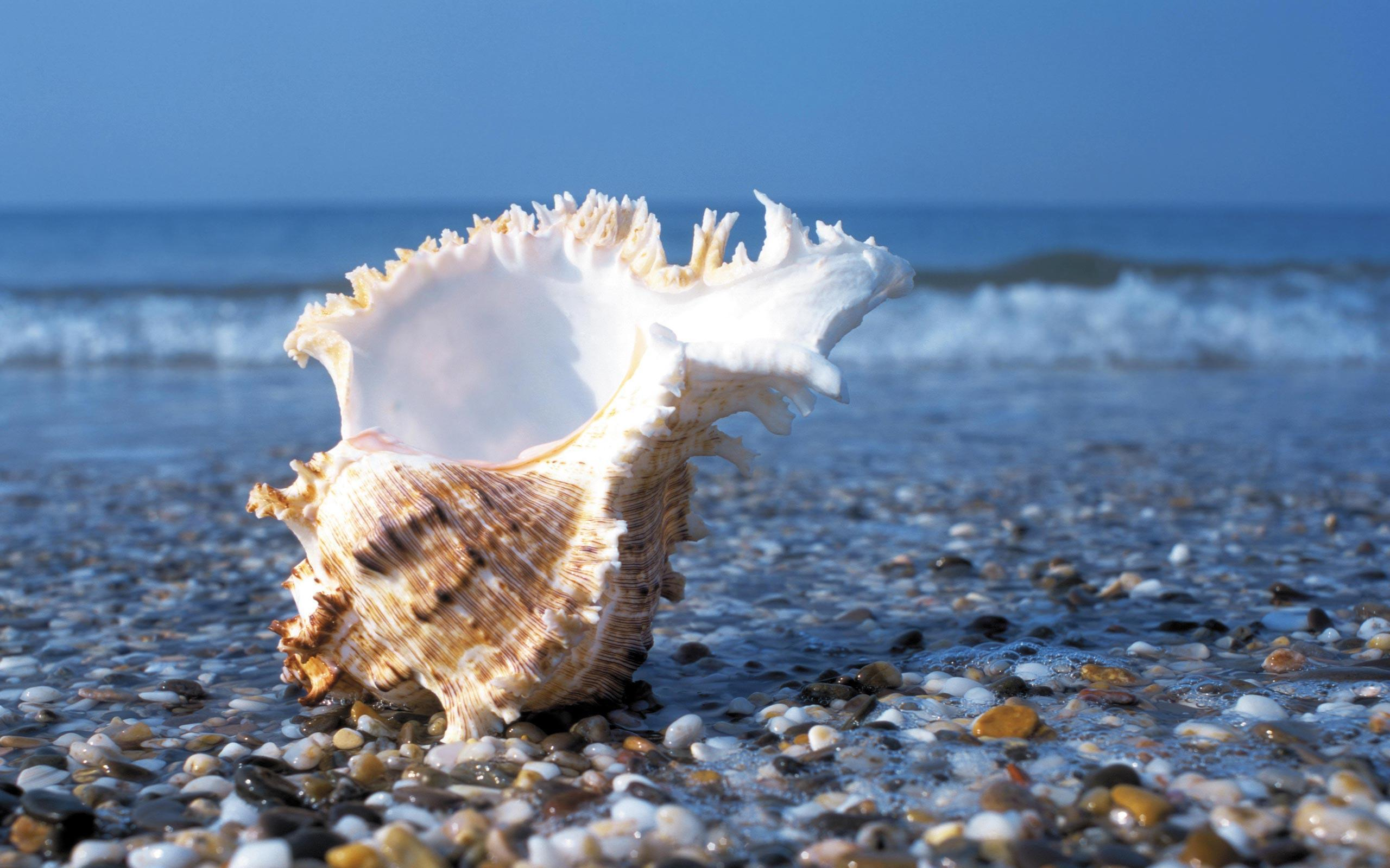 Sea Shell Desktop Wallpapers and Backgrounds