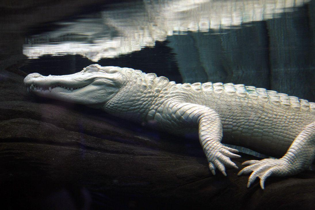 Leucistic alligator Images HD Wallpaper Download Logo And Photo ...