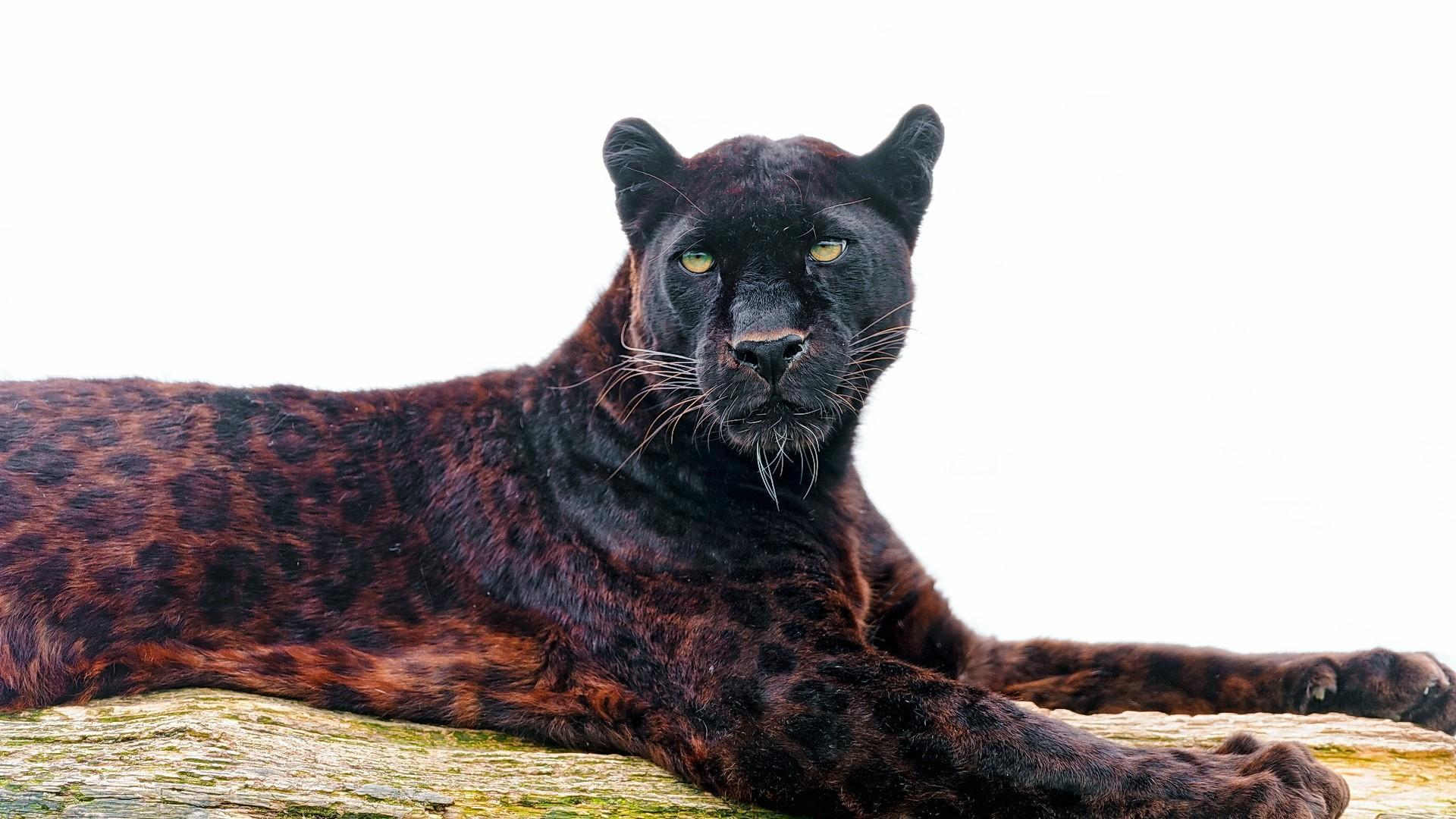 black leopard backgrounds - photo #13