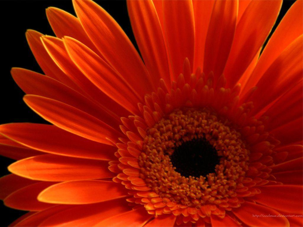 Blue gerbera daisies wallpaper
