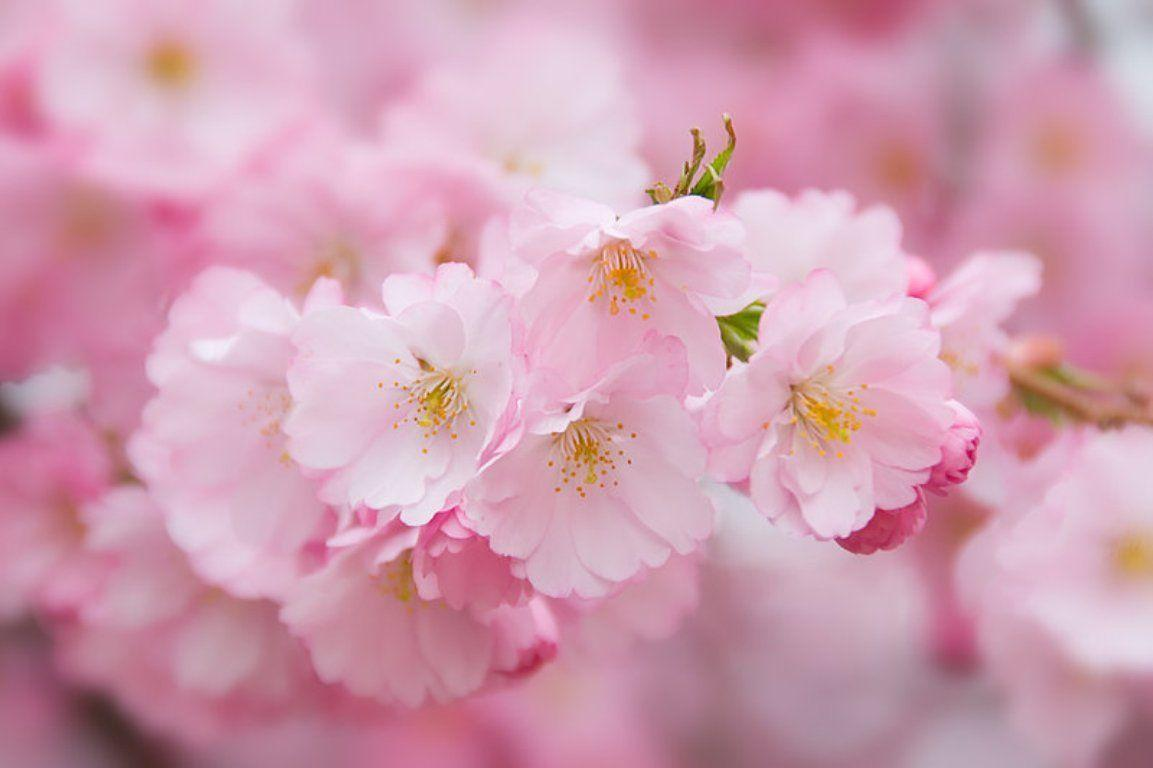 wallpaper pink flowered flower - photo #48