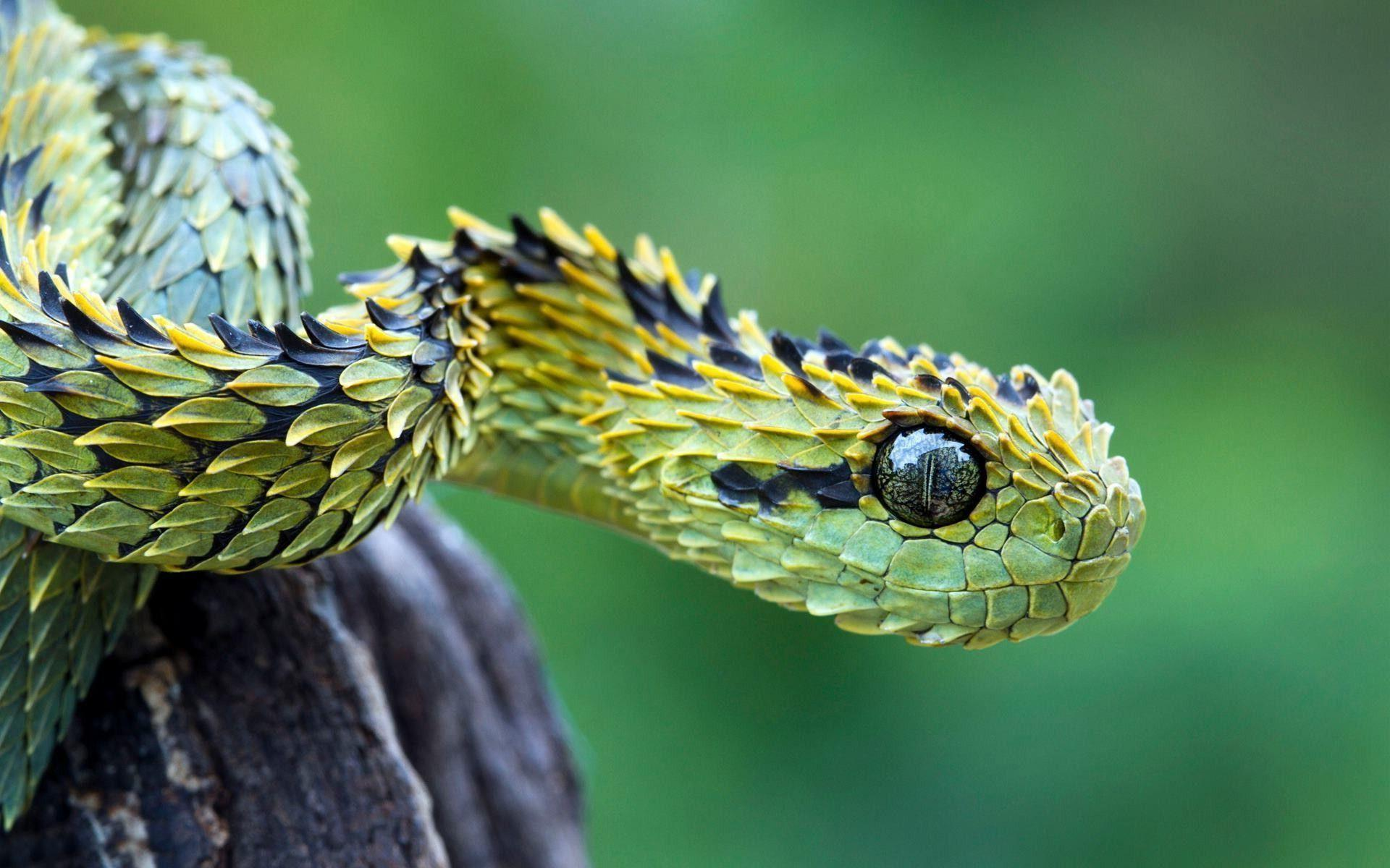 Bush viper snake Wallpapers