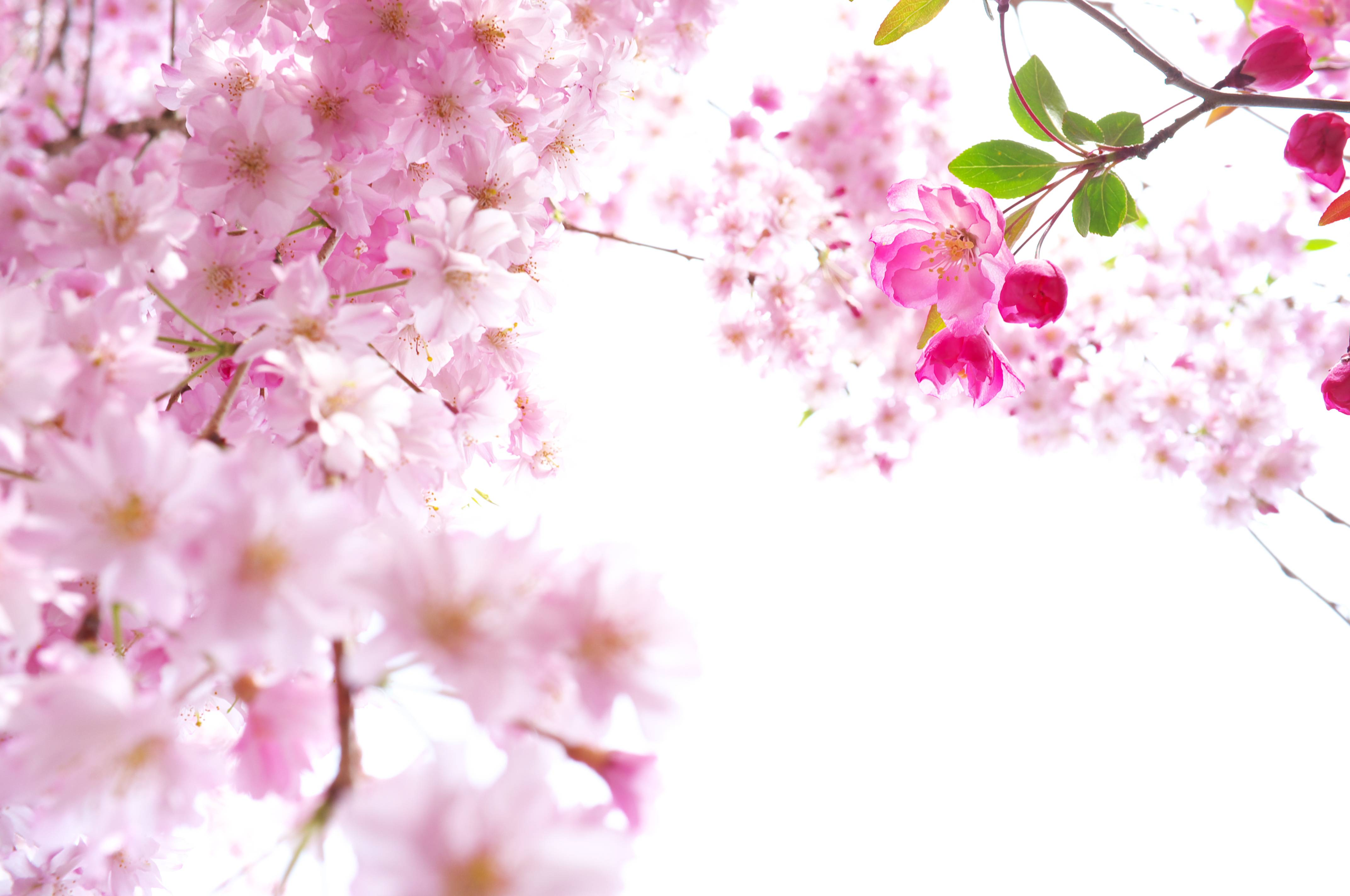 Sakura Flower Wallpapers - Wallpaper Cave