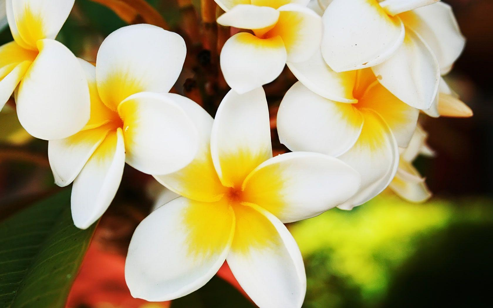 hawaiian flowers wallpapers  wallpaper cave, Natural flower