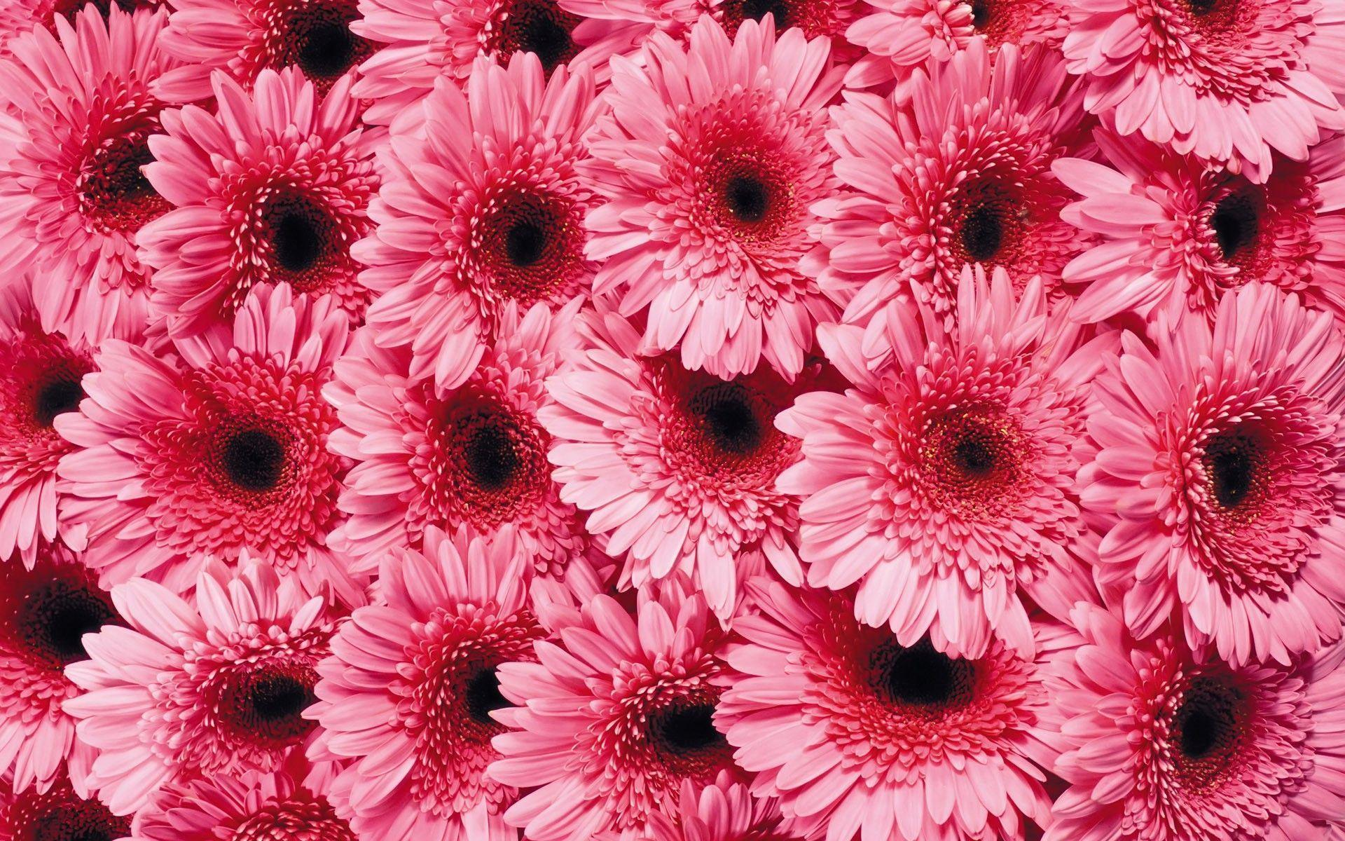 Pink daisies background