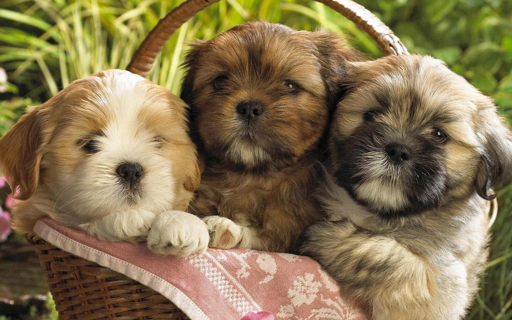 Puppies Desktop Wallpapers FREE on Latoro