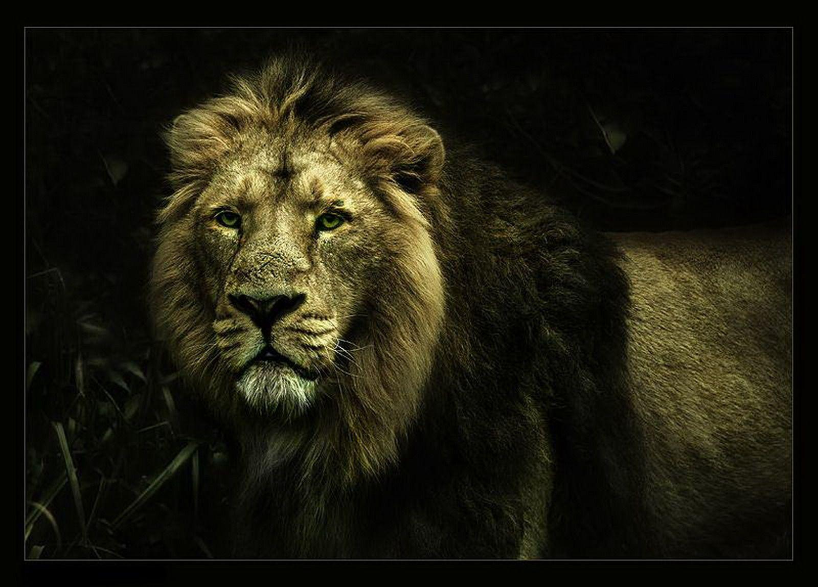 lion wallpapers | lion wallpapers - Part 5