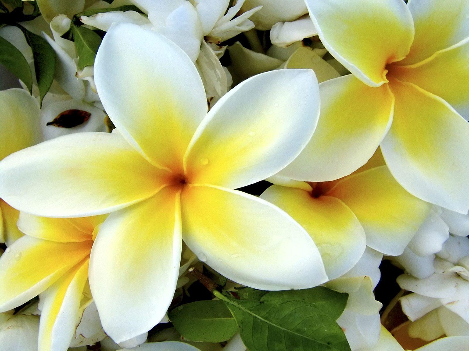 Hawaiian flowers wallpapers wallpaper cave hawaiian flowers wallpapers flowers izmirmasajfo