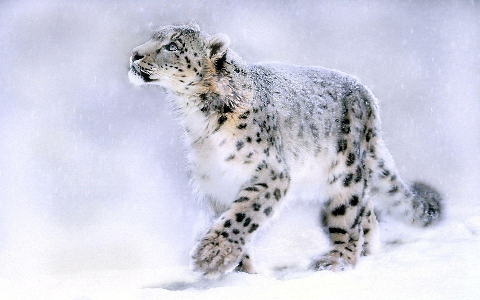 white cheetah wallpaper hd - photo #16