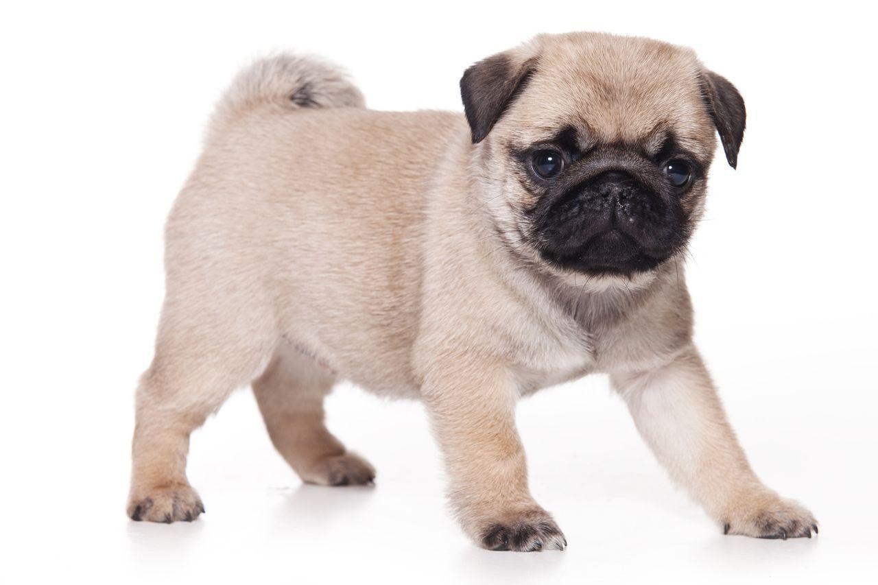 Cute Pug Wallpapers