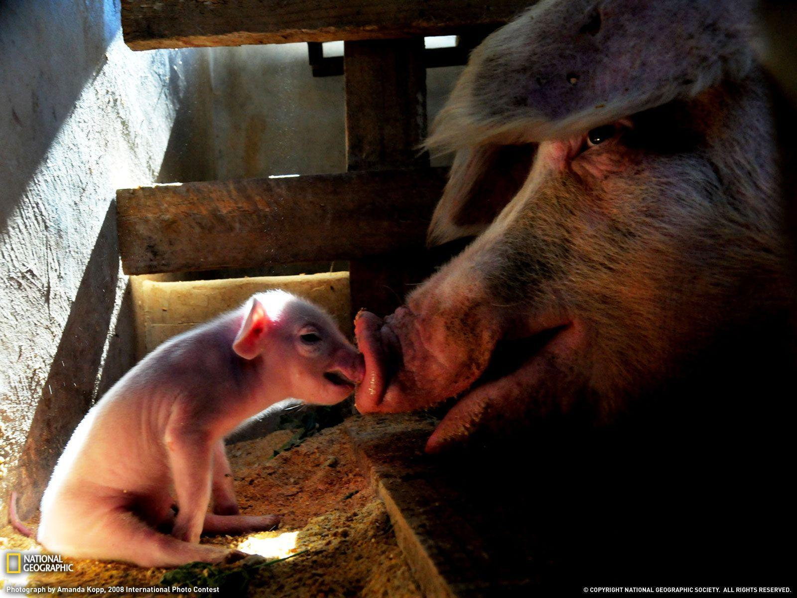 Mother Pig and Piglet Picture, Animal Wallpaper - National ...