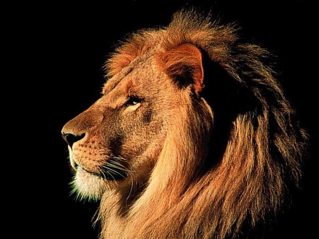 lion face wallpaper - photo #7