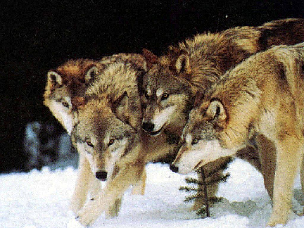 Wolf Pack Wallpapers - Wallpaper Cave - photo#4