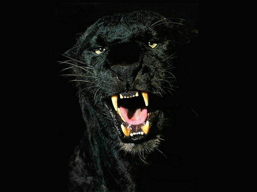Black Panther Animal Wallpapers: Black Jaguar Wallpapers