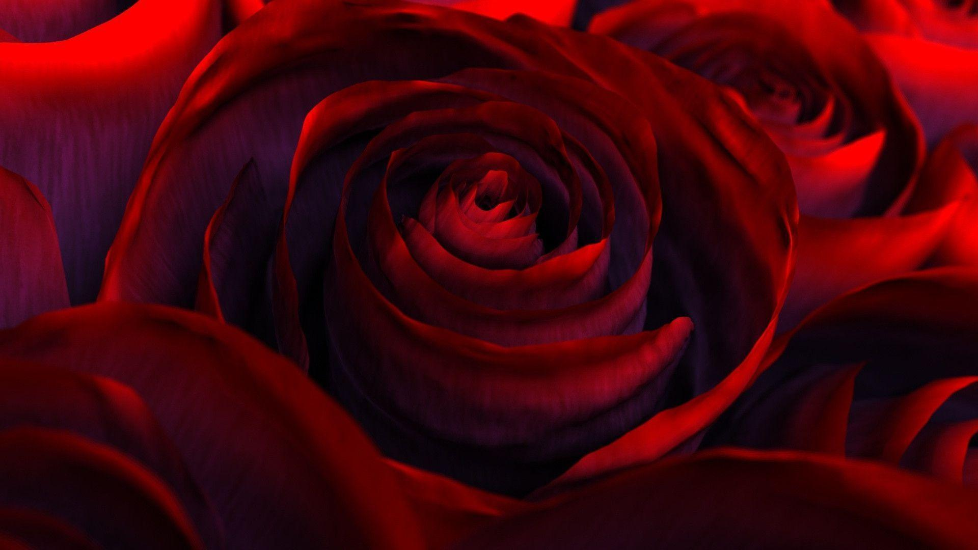 deep red rose wallpapers - DriverLayer Search Engine