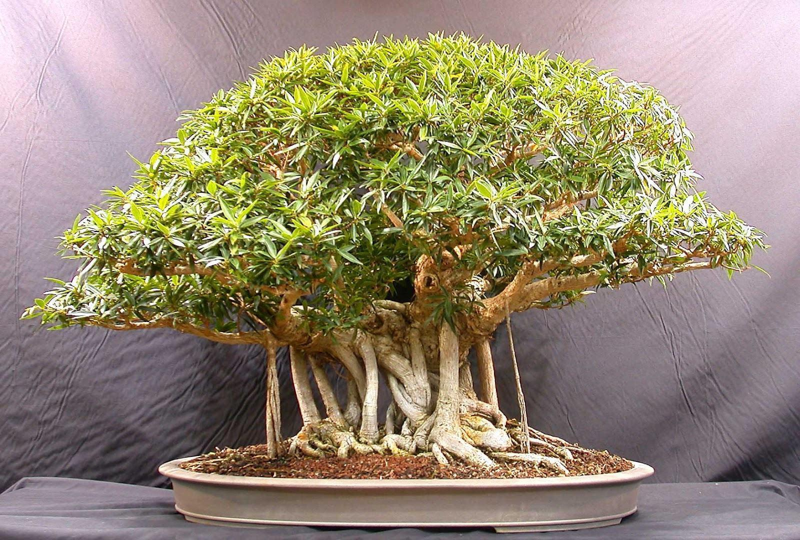 Beautiful Bonsai Tree Images - Images