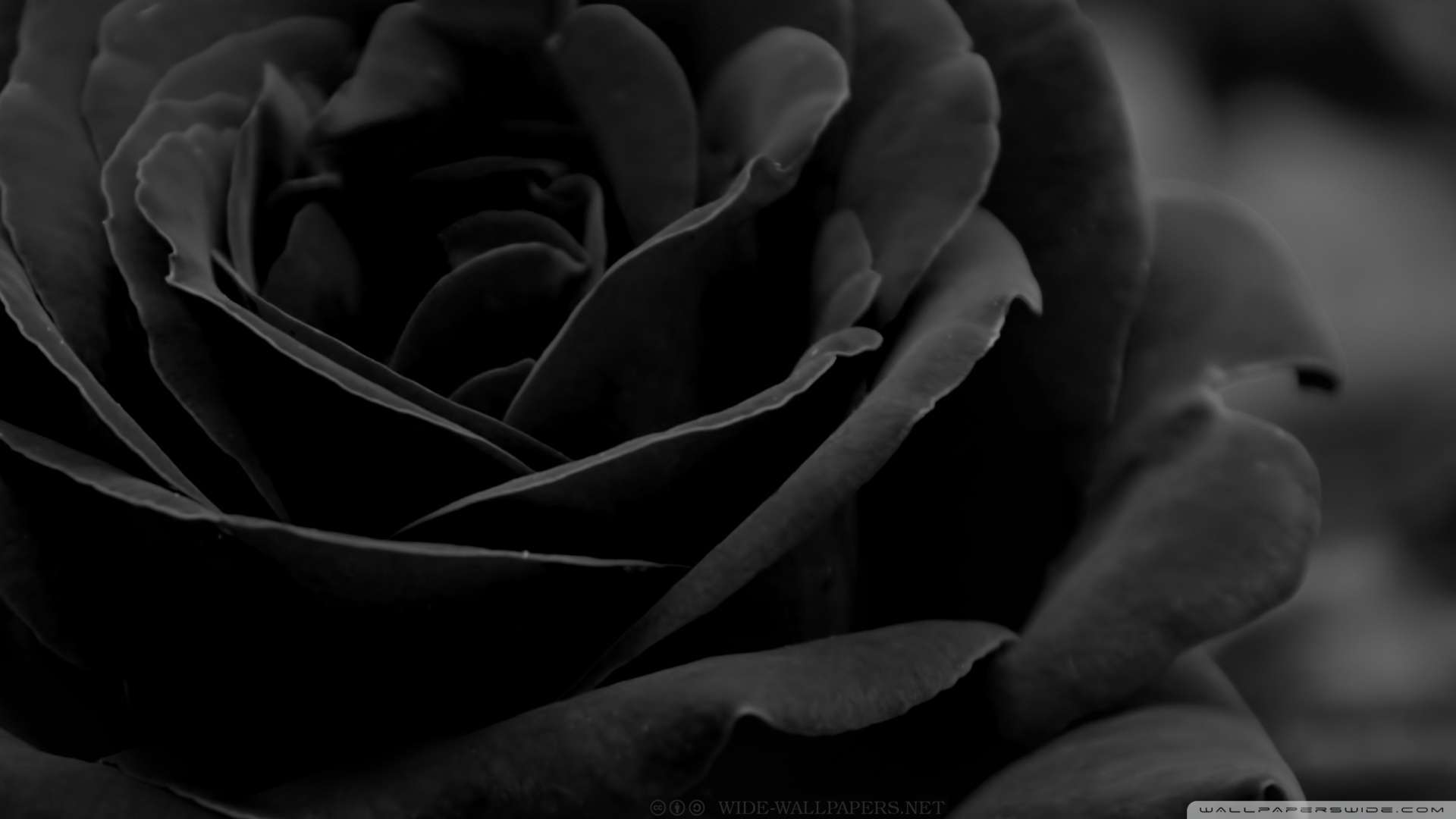 Download Black Rose 3 Wallpaper 1080p HD | HDWallWide