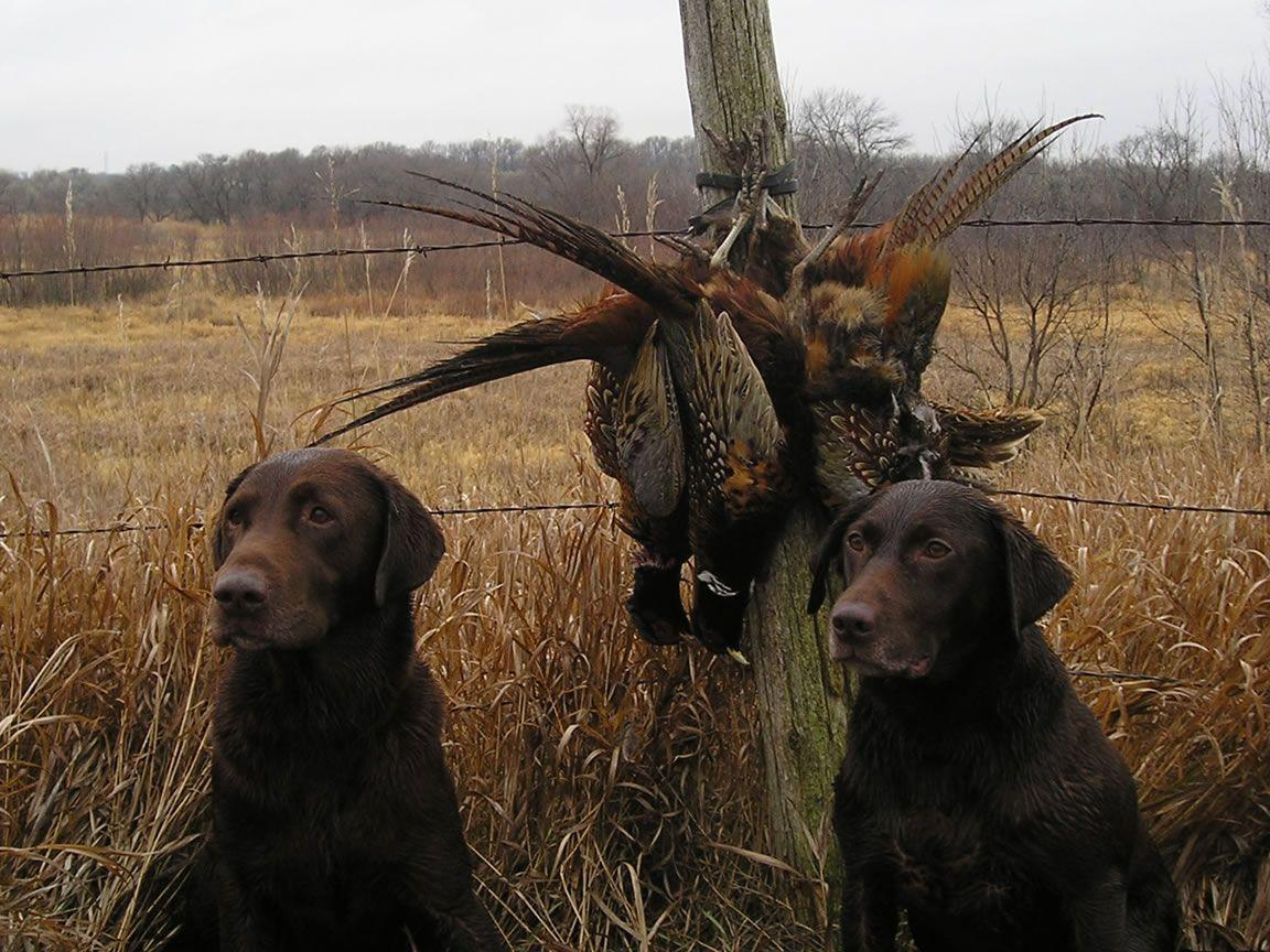 hunting dog wallpaper   galleryimage.co