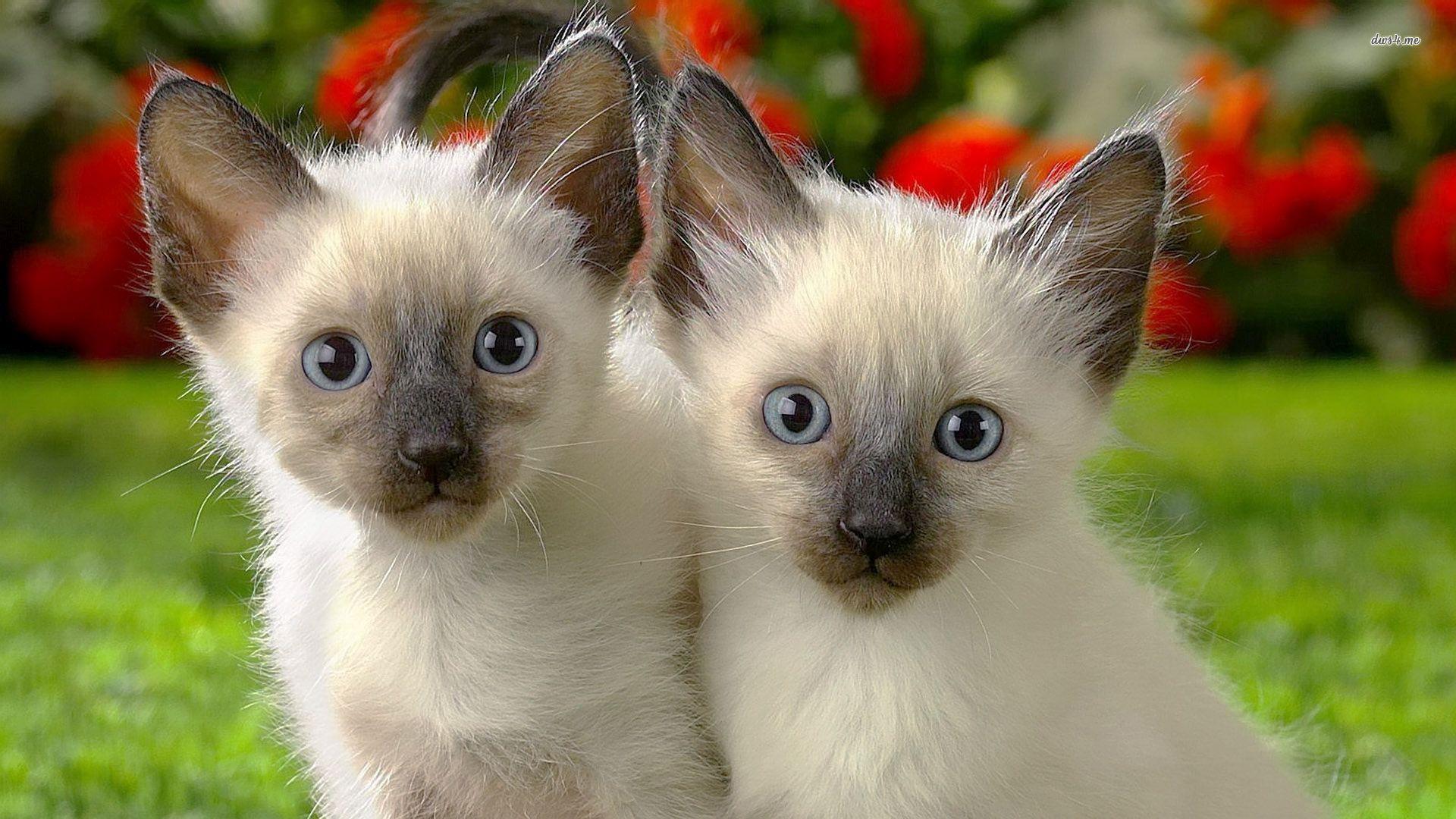 siamese cats wallpaper 3 - photo #22