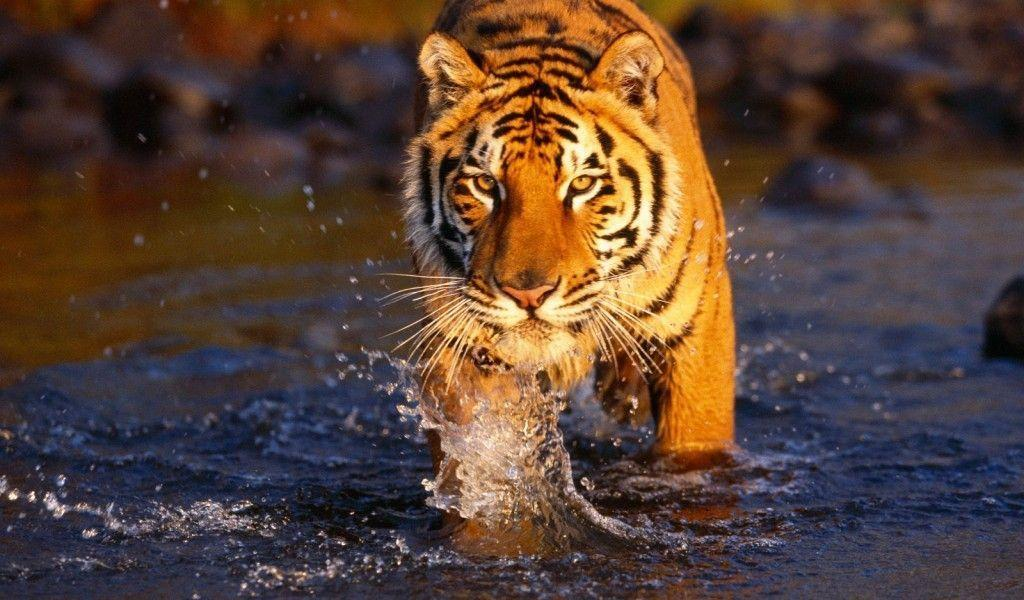 Top Desktop Bengal Tiger Wallpapers Hd Full Size Image ...