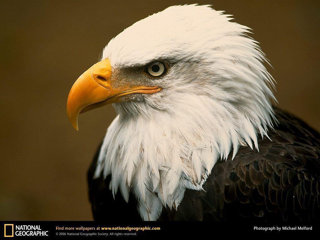 Bald Eagle Picture,Bald Eagle Desktop Wallpaper, Free Wallpapers ...