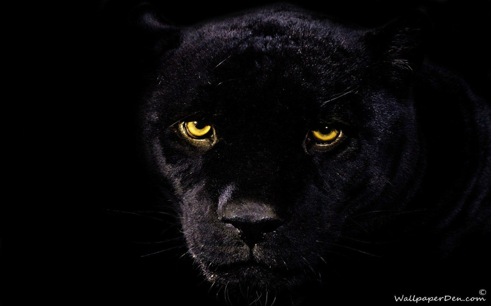 black-jaguar-wallpaper