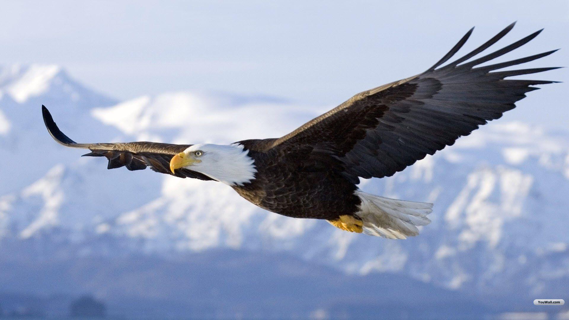 Eagle Desktop Wallpaper: Youwall Flying Eagle Wallpaper ...