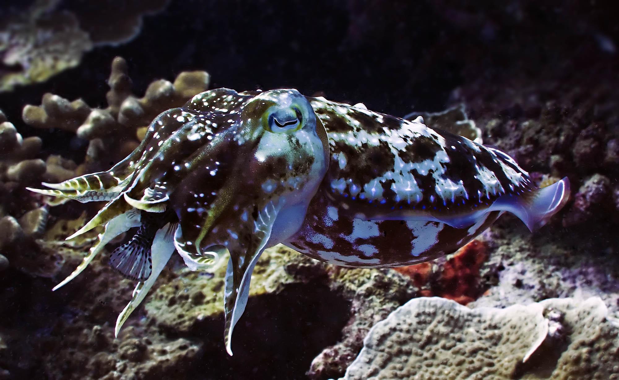 cute cuttle fish - HD2000×1229