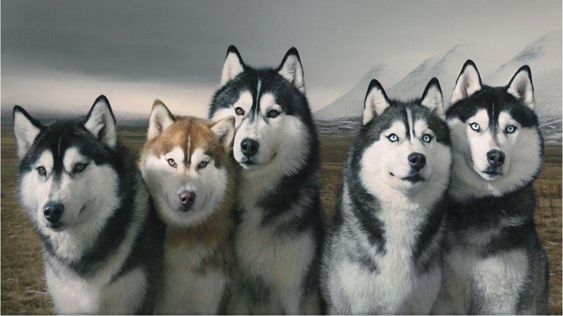Siberian Husky Wallpapers Wallpaper Cave