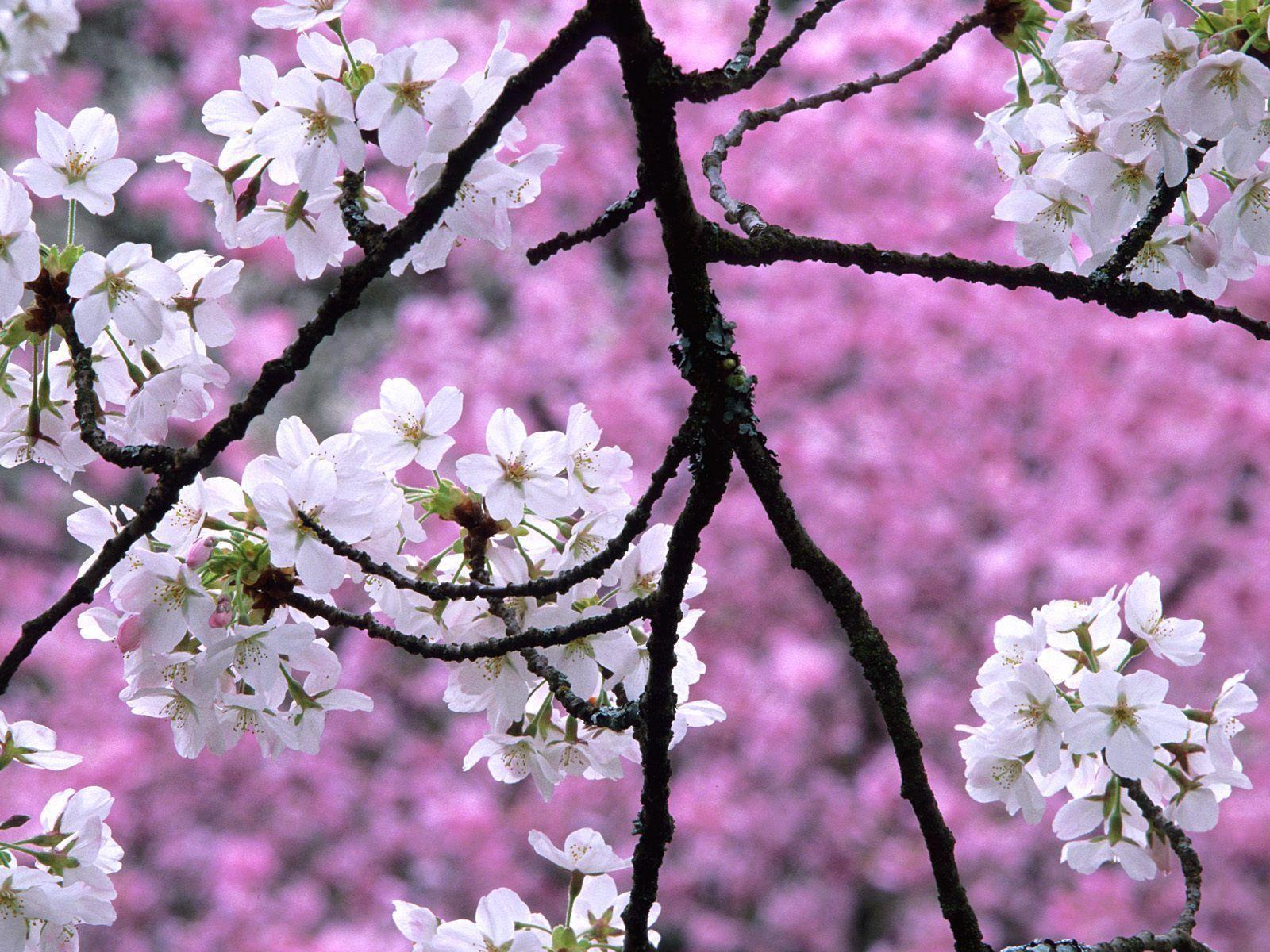 Sakura Flower Wallpaper | Wallpaper Download