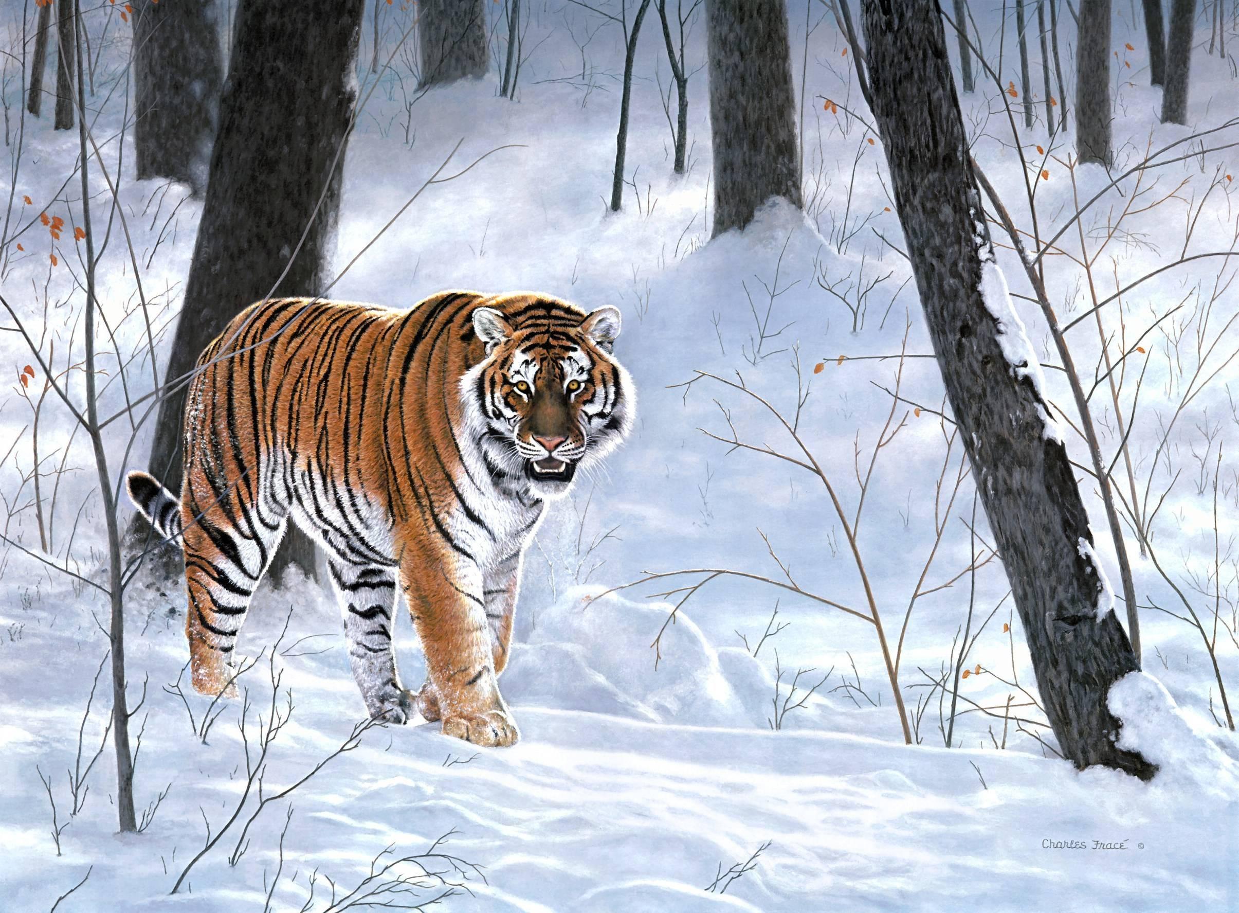 Siberia Wallpapers - Wallpaper Cave Тигр на Рабочий Стол