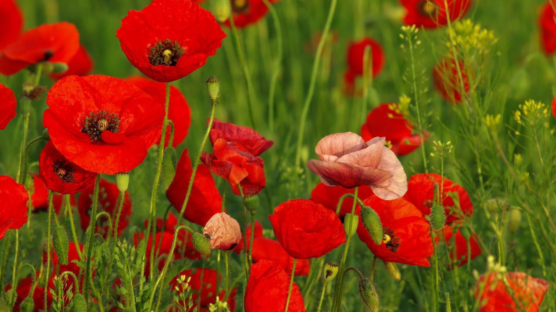 Red Poppy Wallpapers - Wallpaper Cave