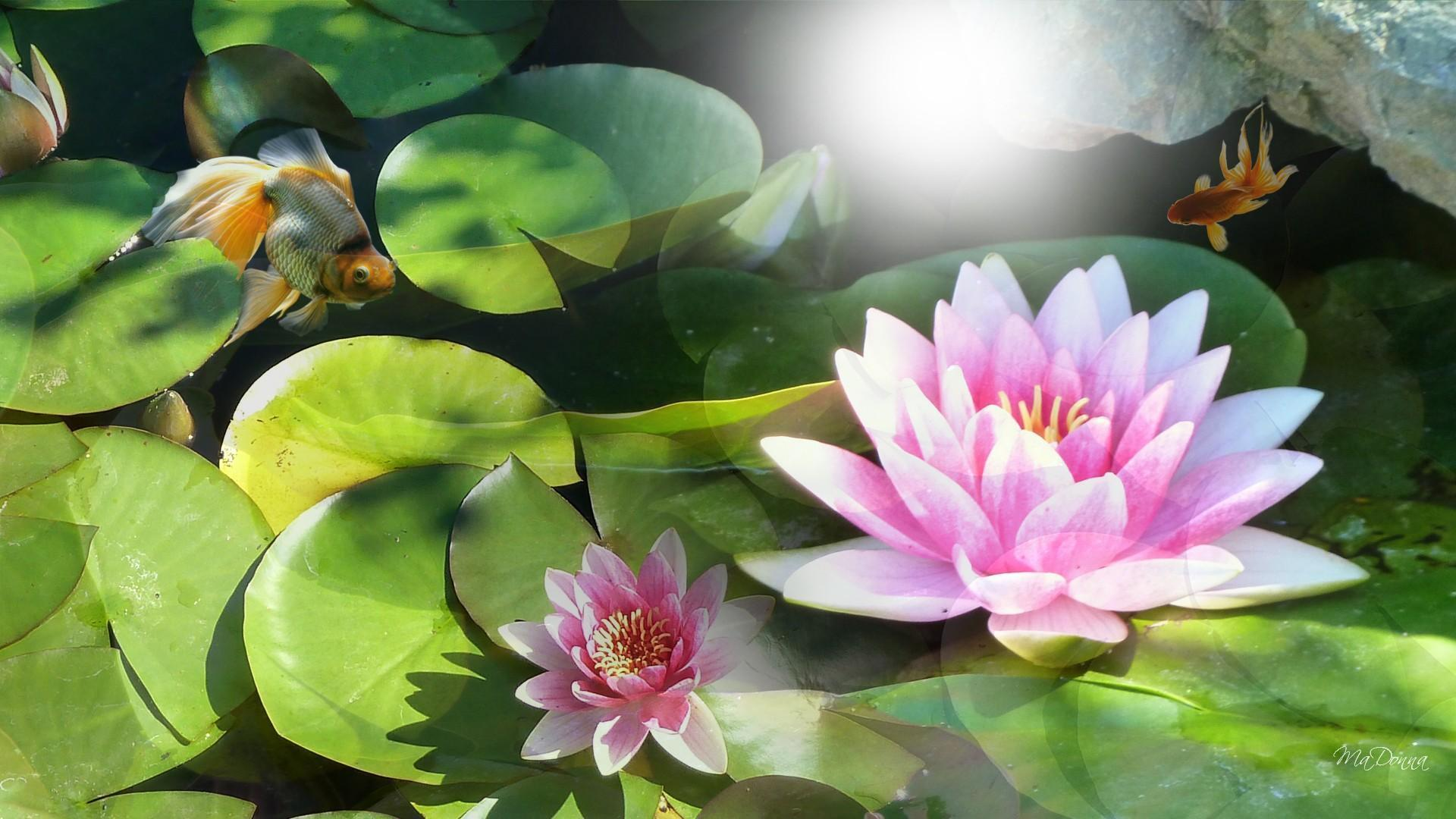 Water Lily Wallpapers - Wallpaper Cave