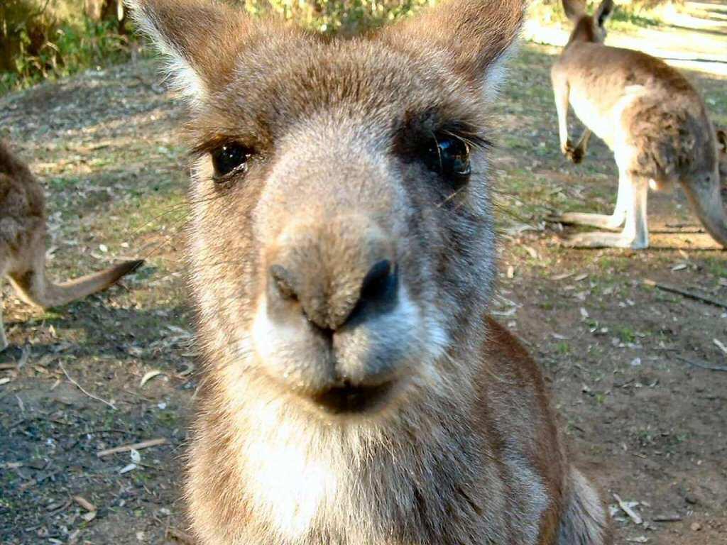 GT Wallpaper - free wallpaper Kangaroo
