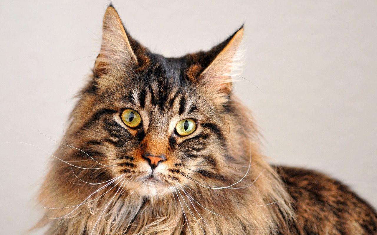 maine coon wallpapers wallpaper cave. Black Bedroom Furniture Sets. Home Design Ideas