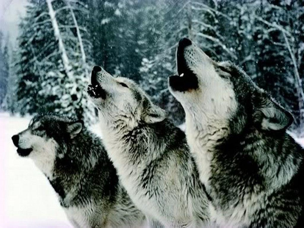 Wolf Howling Wallpapers