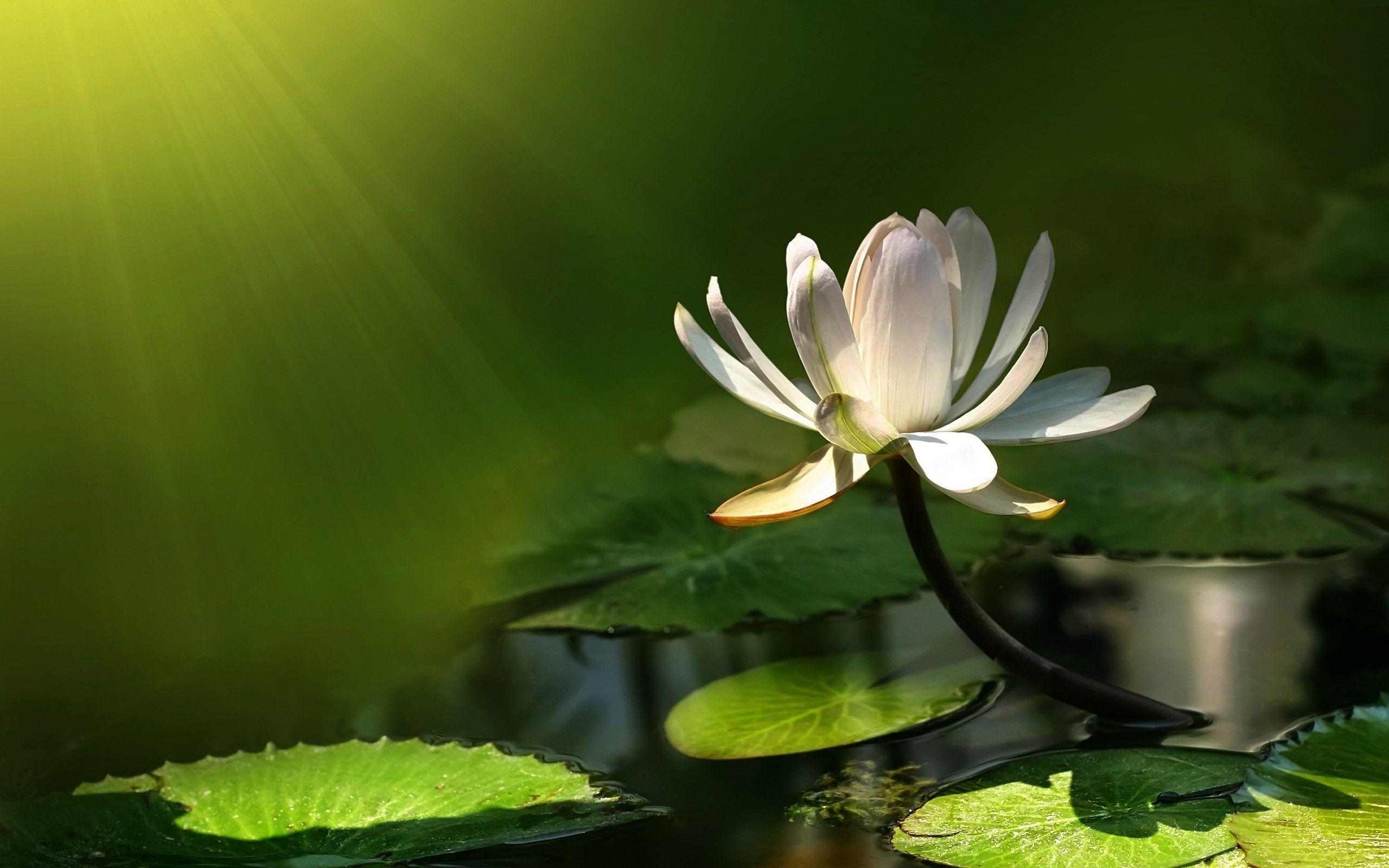 Lily pad wallpapers wallpaper cave lilly pad flower hd wallpapers izmirmasajfo