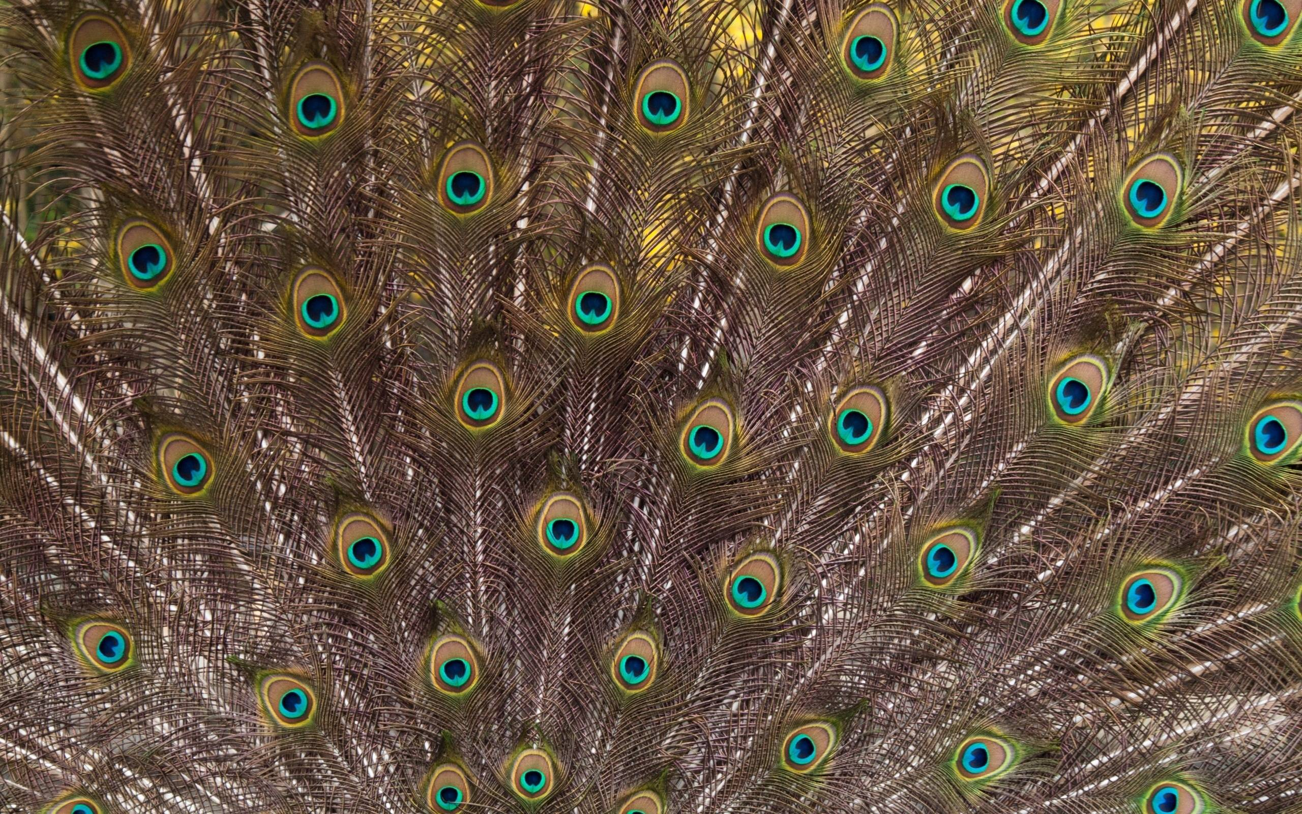 wallpapers of peacock feathers hd 2015 wallpaper cave