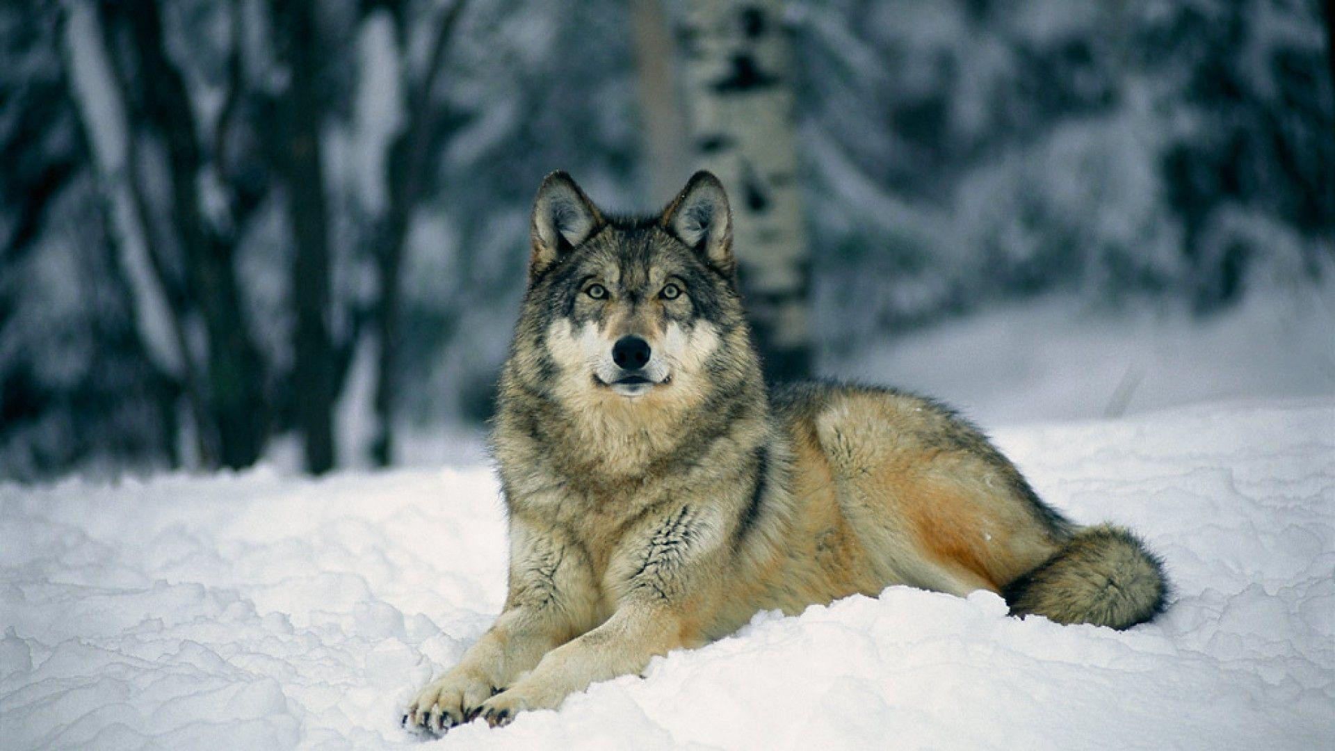 Gray Wolf in Snow Wallpapers