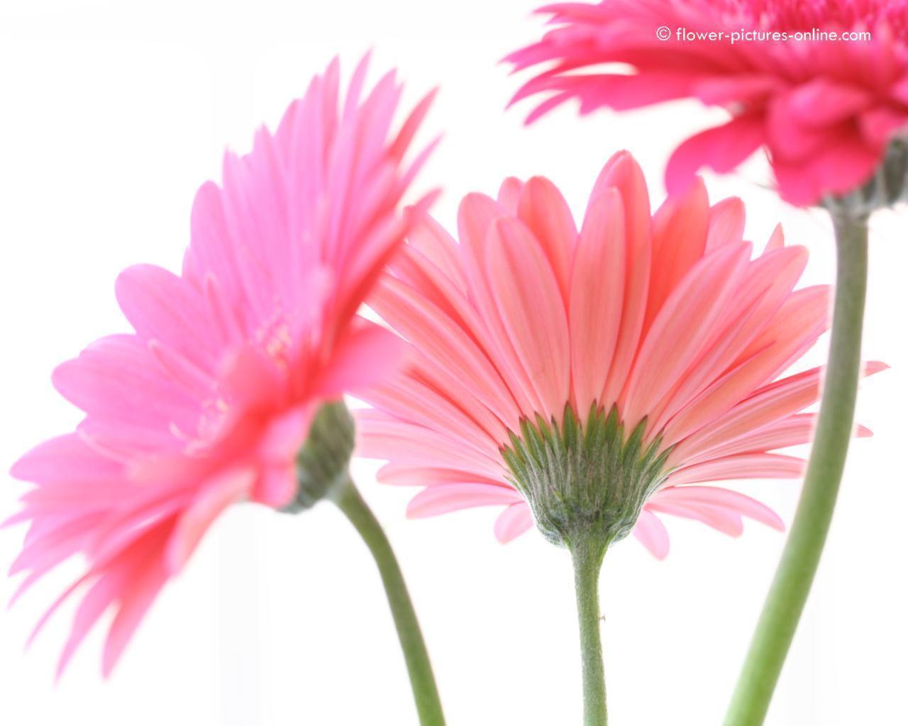 pink gerbera flowers wallpapers - photo #35