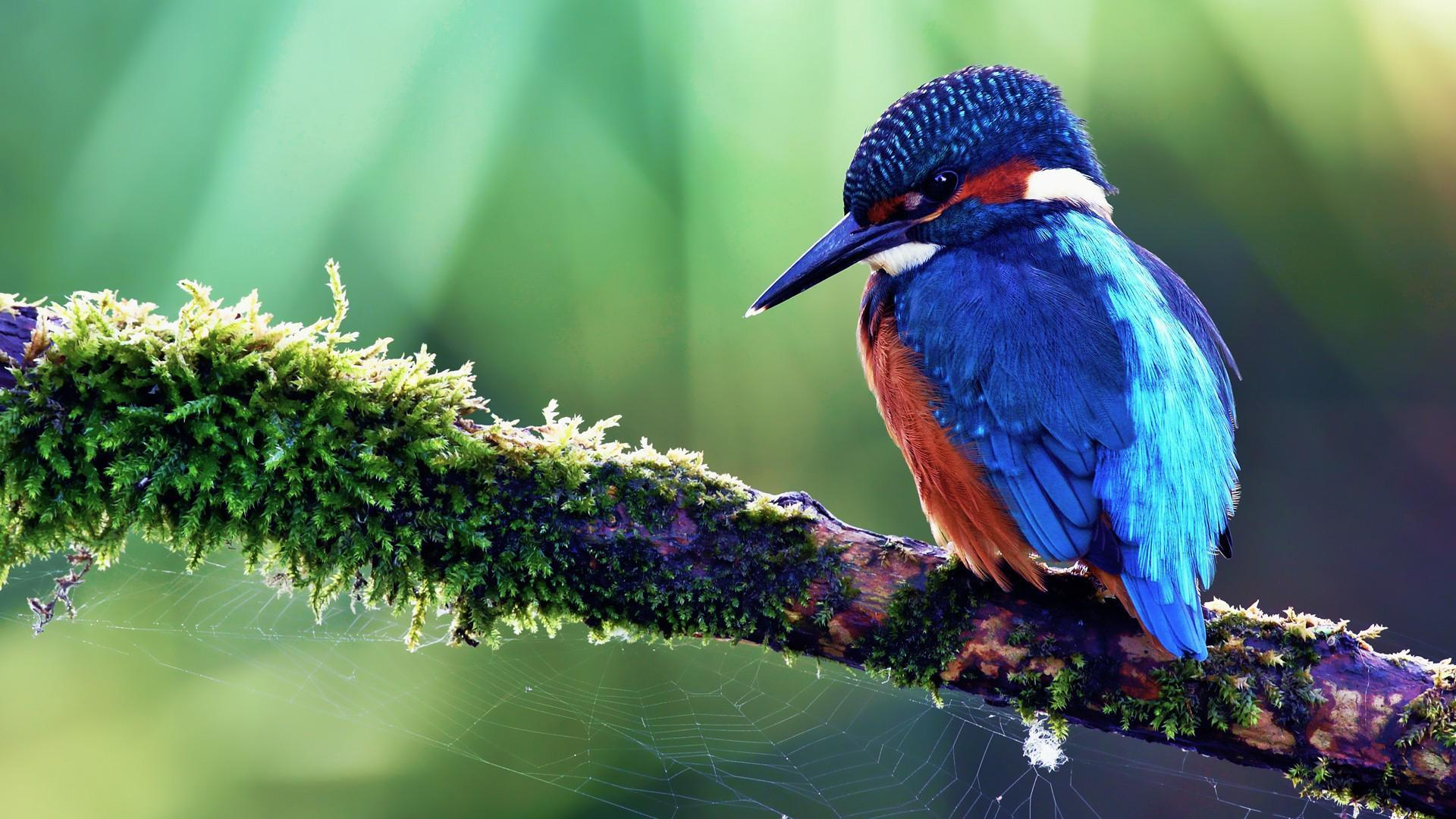 kingfisher wallpapers hd -#main