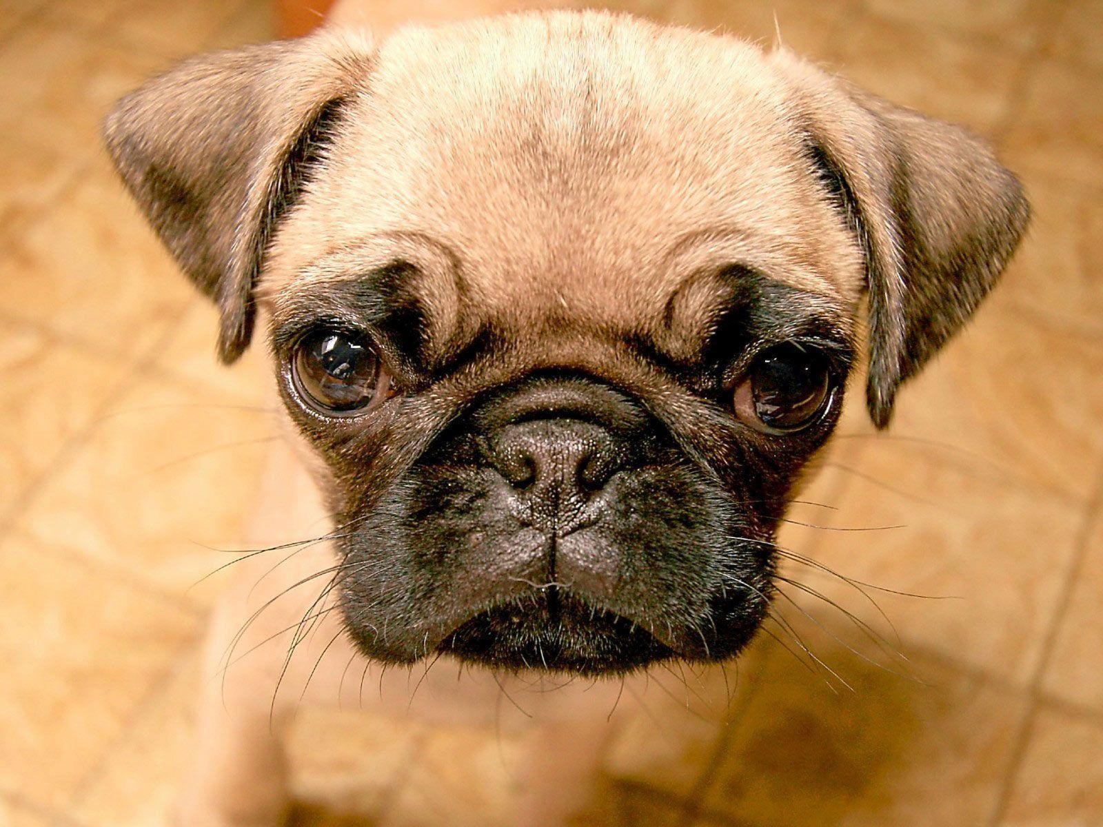 Desktop Wallpapers · Gallery · Animals · Pug puppy