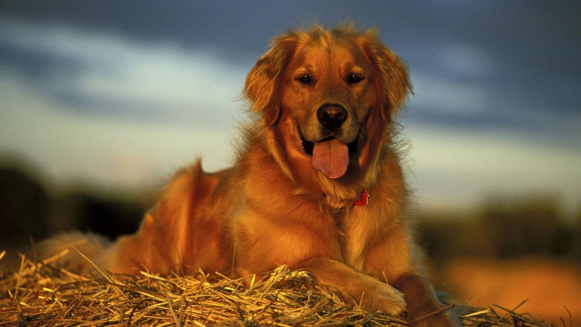 Golden Retriever HD Wallpapers - HD Wallpapers Inn