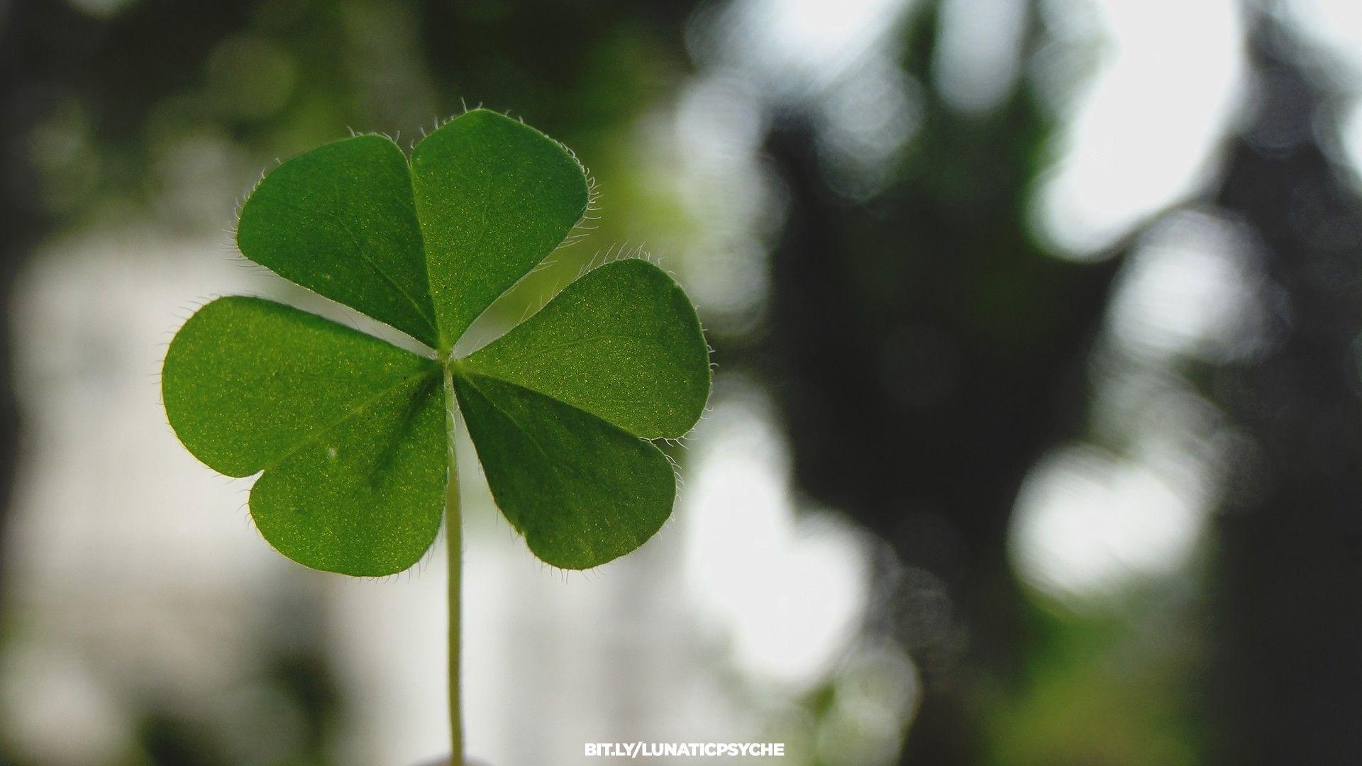 Image For > Four Leaf Clover Desktop Wallpapers