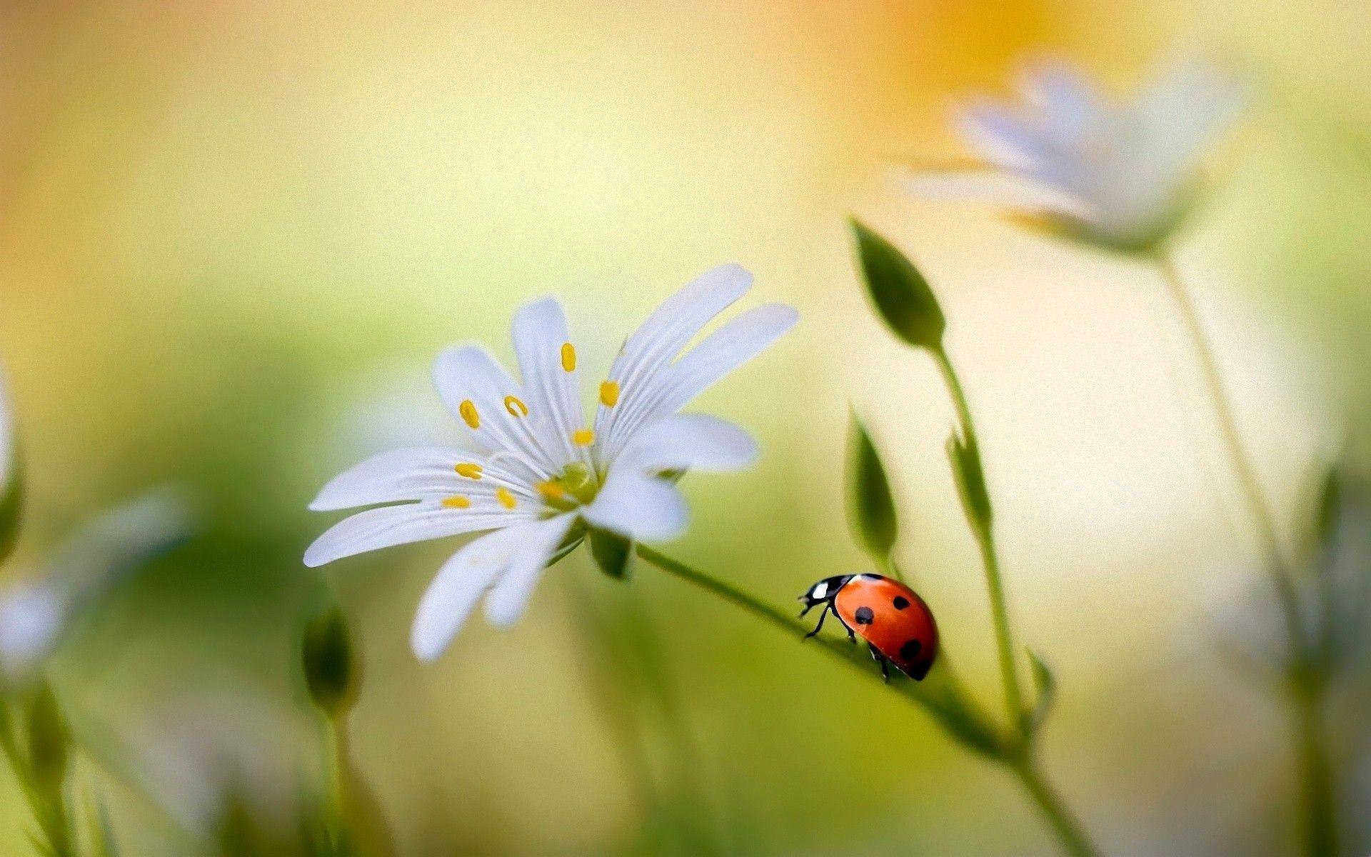 <b>Ladybug</b> Full <b>HD</b> Quality <b>Images</b>, <b>Ladybug Wallpaper</b> For Computer ...
